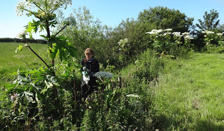 NRW staff member spraying Giant Hogweed