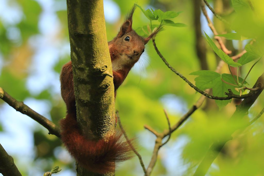 red squirrel in a tree / red squirrel in a tree