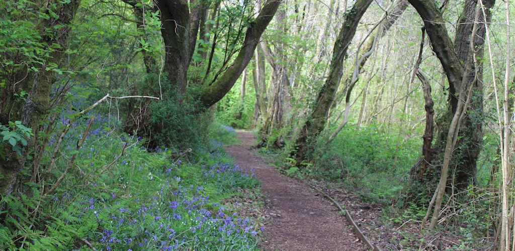 Bluebells by path in woodland