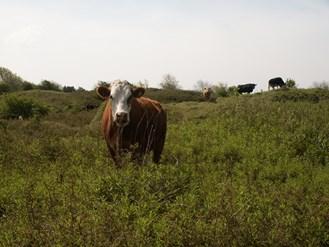 cattle grazing Merthyr Mawr