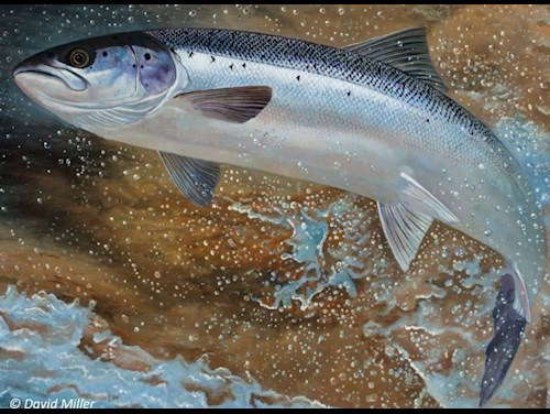 Painting of a leaping salmon by David Miller