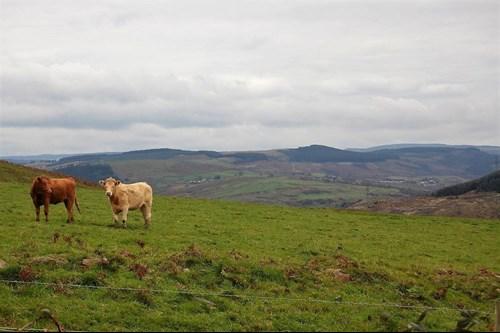 Dwy fuwch mewn cae, Castell-nedd Port Talbot.