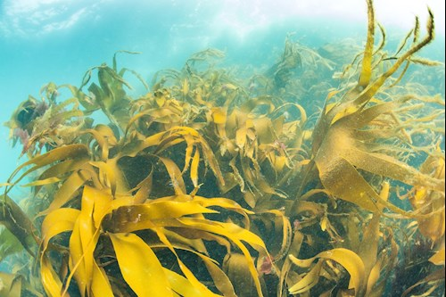 an underwater kelp forest