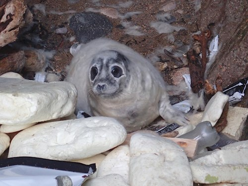 A seal cub surrounded by washed up marine litter on Skomer Marine Conservation Zone.