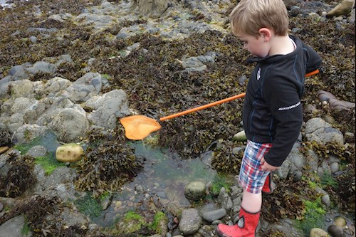 A young child rock pooling with a net in Pembrokeshire