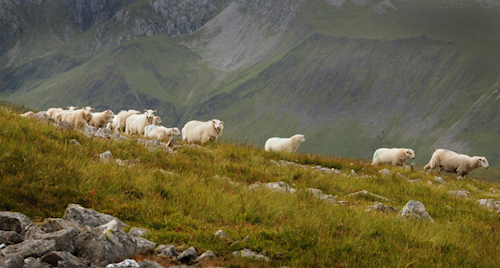 Sheep on a mountain in Snowdonia