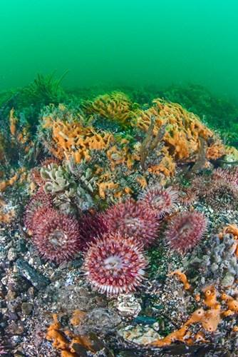 Dahlia anemones, hornwrack and sponge growths on bedrock in the Menai Strait